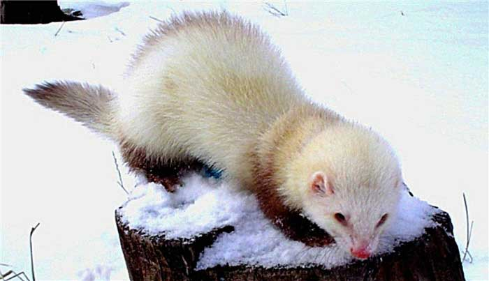 Chocolate point Foto: Favourite Ferret